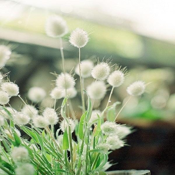 Weiße flauschige Blumen Bonsai Garten Pflanzen Blume Samen 50 Samen ...