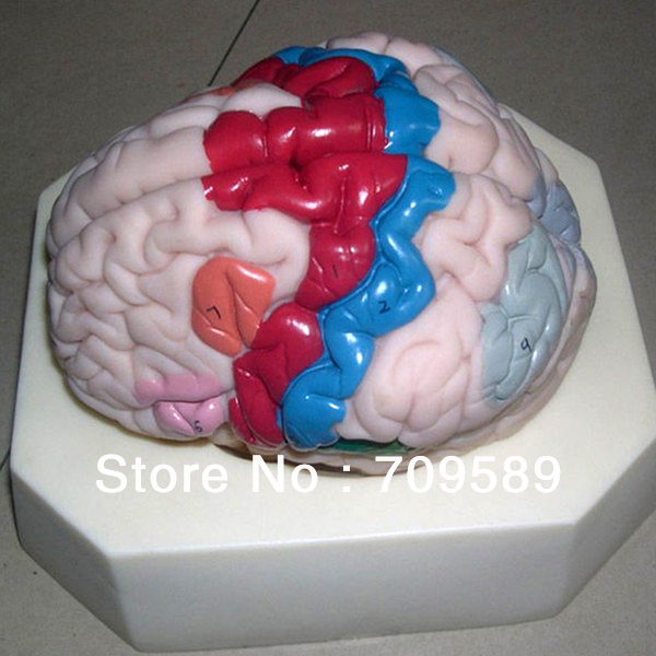 ISO Deluxe Brain Cortex model, Partition model of Cerebral Cortex, Medical Brain Model купить недорого в Москве