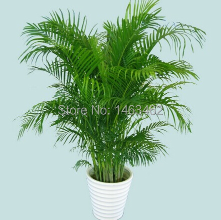 15PCS / Bag Chrysalidocarpus Lutescens Seeds, Home Decoration Seeds Indoor  Plants Free Shipping(China