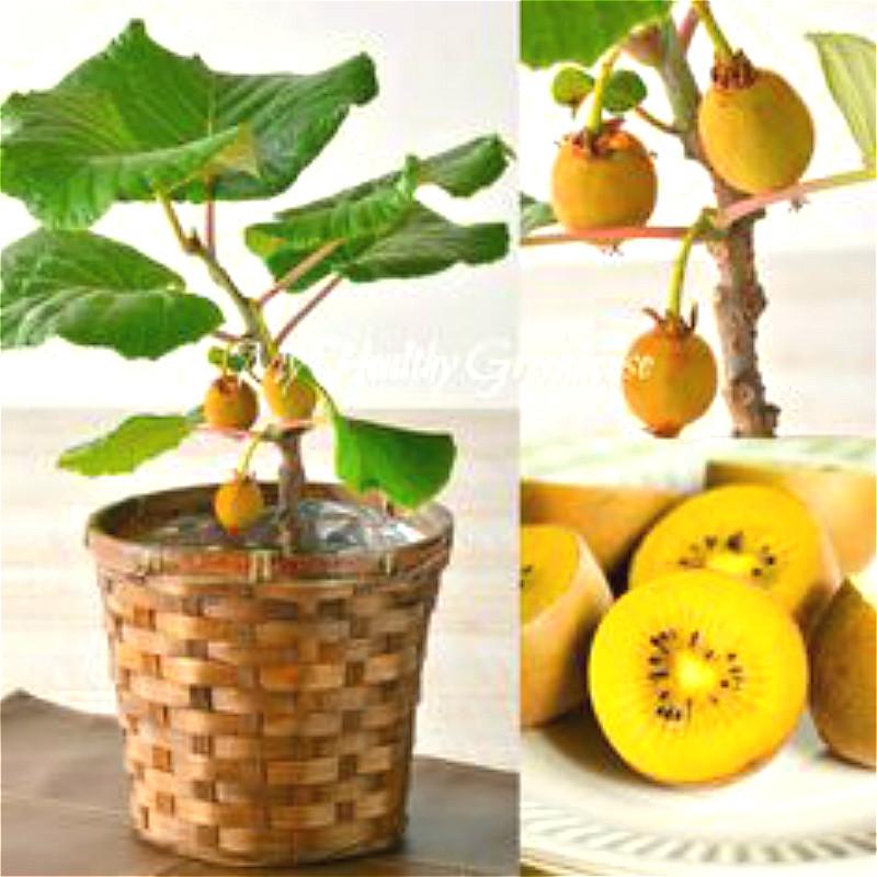envo gratis unids comestible muy sabroso semillas frutas kiwi semillas de calidad superior mejor