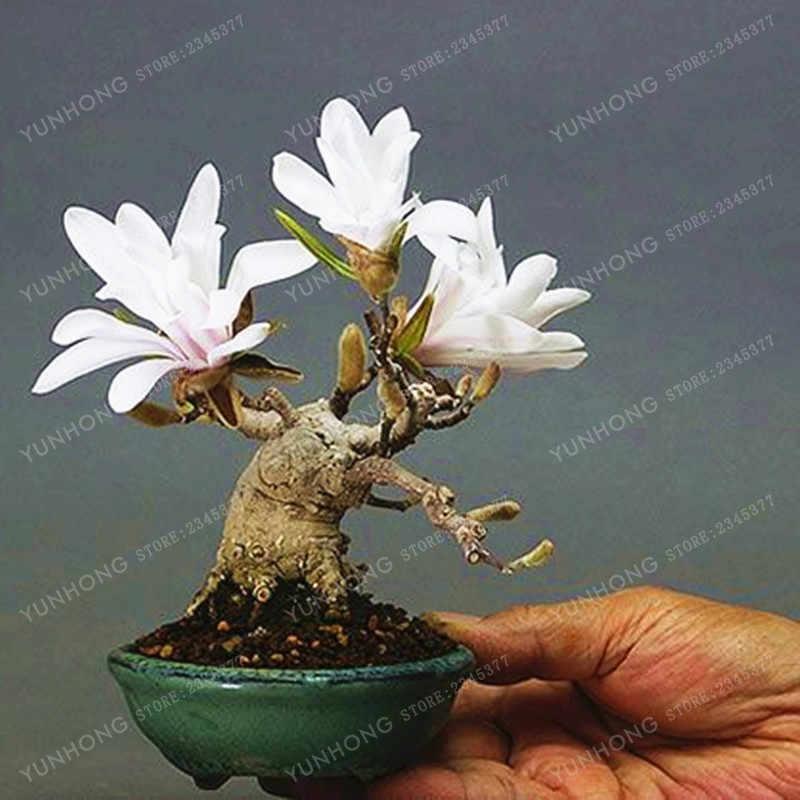 Detail Feedback Questions About 10 Pcsbag Magnolia Bonsai Mini