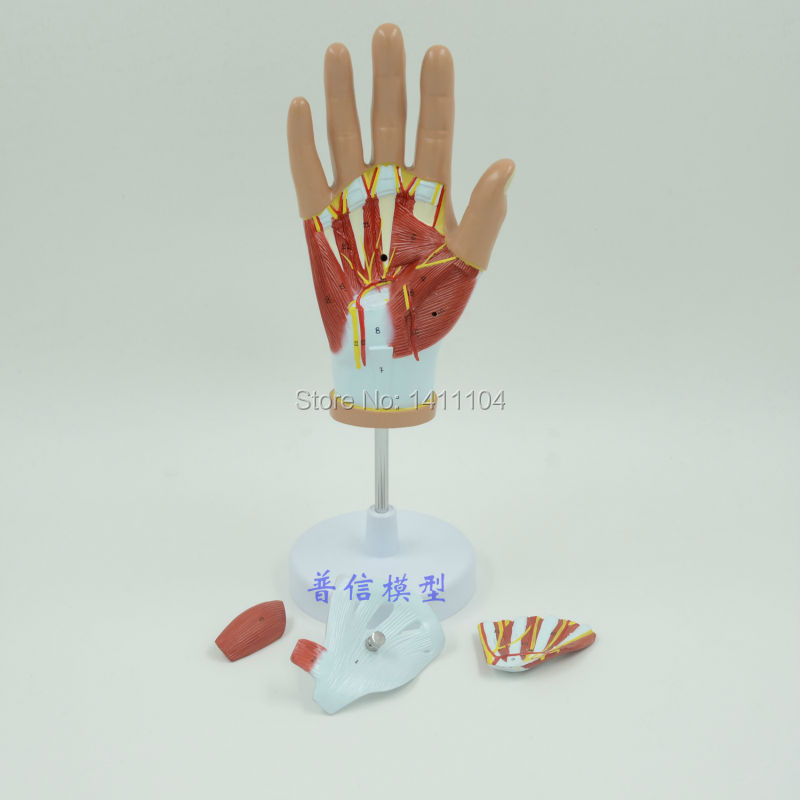 Free shipping&Hand muscle model, hand anatomy model, tendon model ...