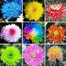 200pcs Sale heaters 22 colors available chrysanthemum seeds, morifolium seeds, gardening Beautiful flower pot plants