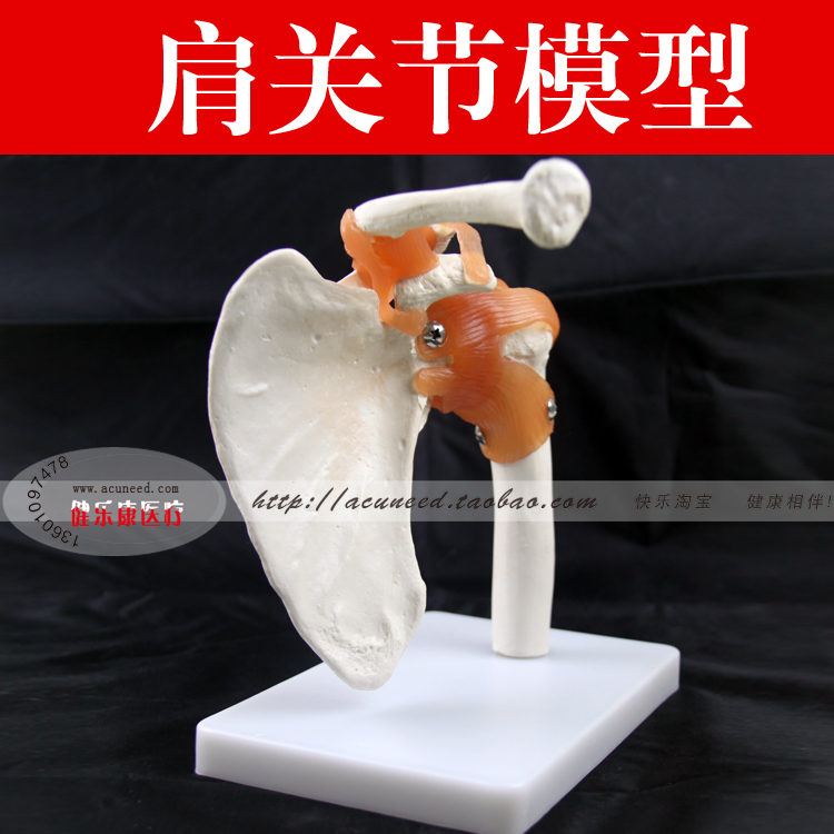 shoulder joint model with ligament human skeleton model joint model Shoulder joint functional model life size hand joint with ligaments the palm of your hand with ligament model