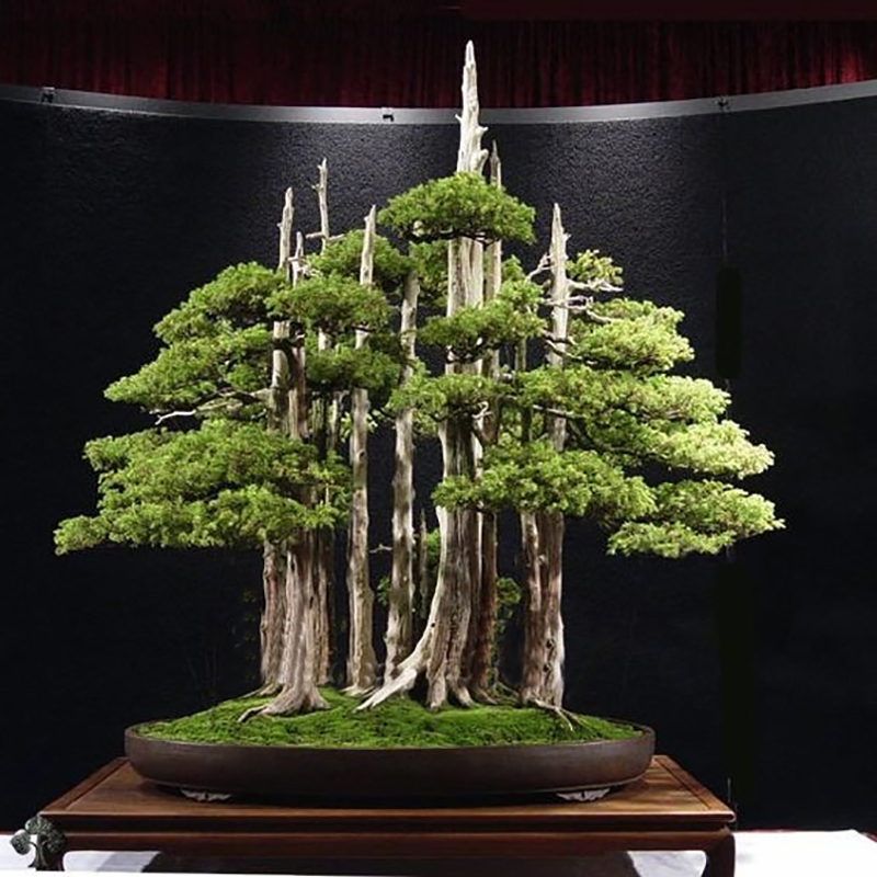 Hot sale 20 rare beautiful juniper bonsai tree potted flowers office bonsai purify the air absorb harmful gases free shipping