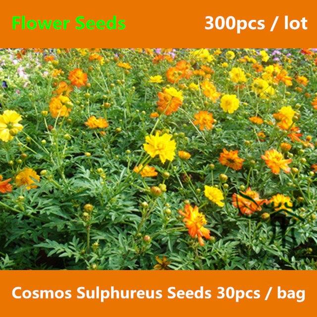 Half hardy annual cosmos sulphureus 300pcs easy cultivation half hardy annual cosmos sulphureus 300pcs easy cultivation mightylinksfo