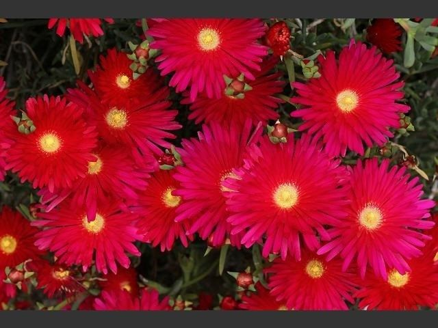 100seeds Pack Bright Red Ice Plant Flower Seeds Easy Grow Perennial Best Little