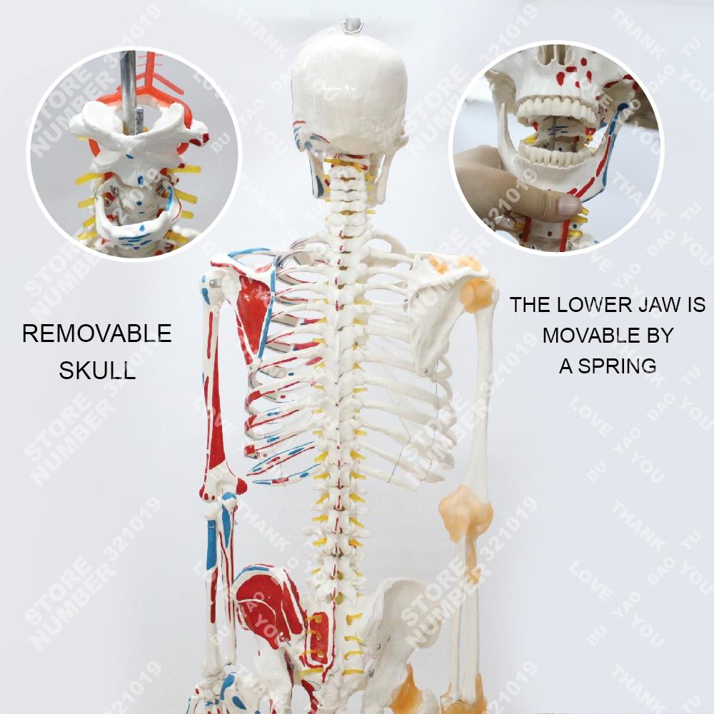 Anatomie Menschliches skelett modell mit gemeinsamen bänder und ...