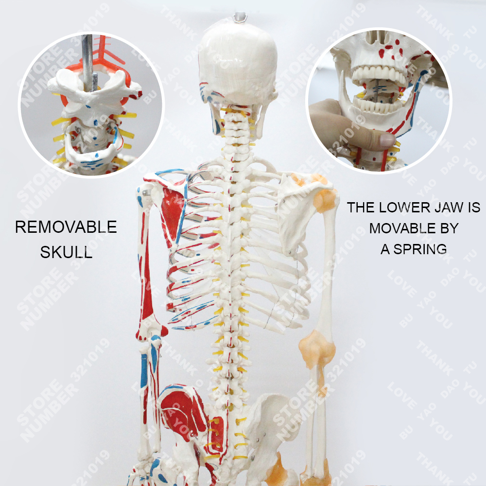 Anatomy Human skeleton model with joint ligament and colored muscle ...