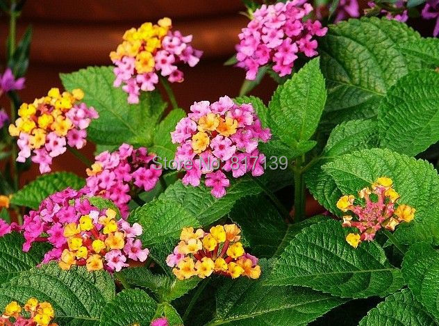 Muito New New Home Jardim de Plantas 10 Sementes Coloridas Sortidas  XV32