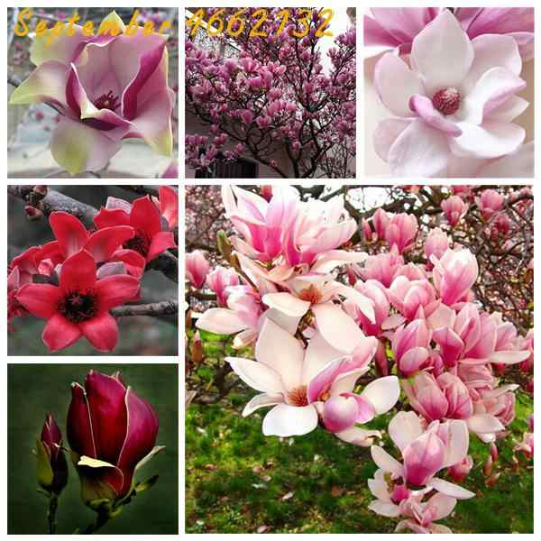 Limited-time discount 10PCS Magnolia bonsai, Light fragrant garden tree , Magnolia flowers for home garden DIY ornamental plants