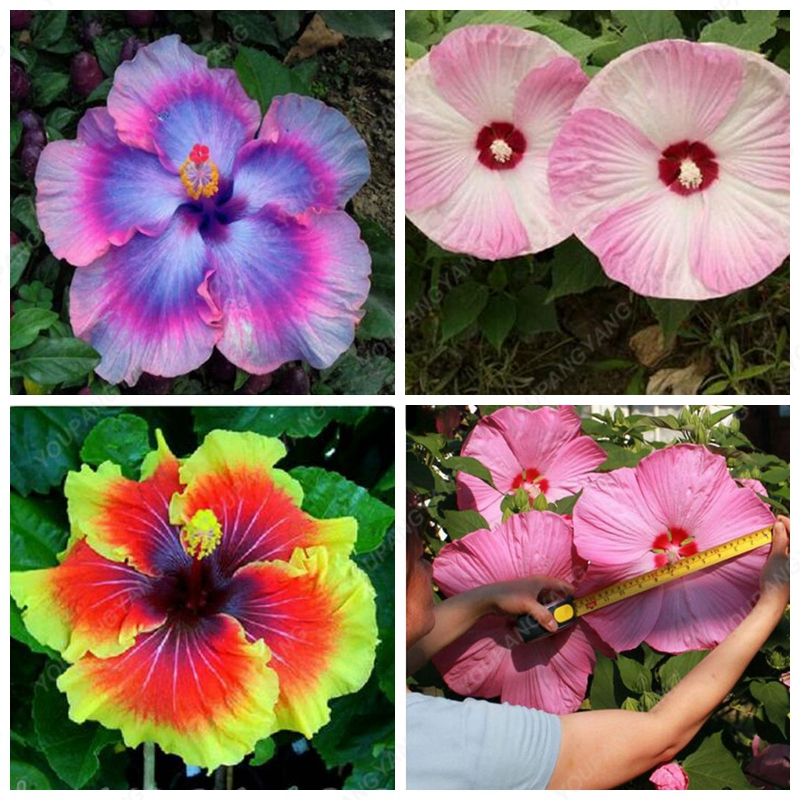 100pcs Rare Mix Colors Giant Hibiscus Seeds Potted Plant Perennial Flowers rose mallow light up your garden