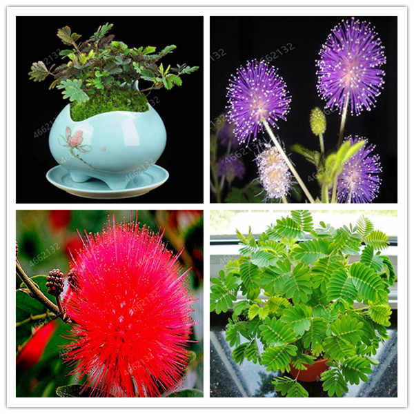 20pcs Mimosa Bonsai Plants Perennail Indoor Flowering Potted Plant Rare Mimosa Pudica Flower For Home Garden Shy Grass Plants