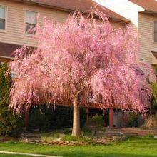 20pcs / bag Fountain Weeping cherry tree, DIY family garden Shrub tree Cherry plant, Ornamental plant Bonsai