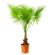 Sale! 10 Pcs Rainbow Japanese Bottle Palm Bonsai Tree Exotic Plants  Tropical Ornamental Balcony Plant Pot Garden