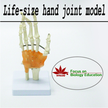 Medical teaching supplies quality biological Life-size hand  joint  model