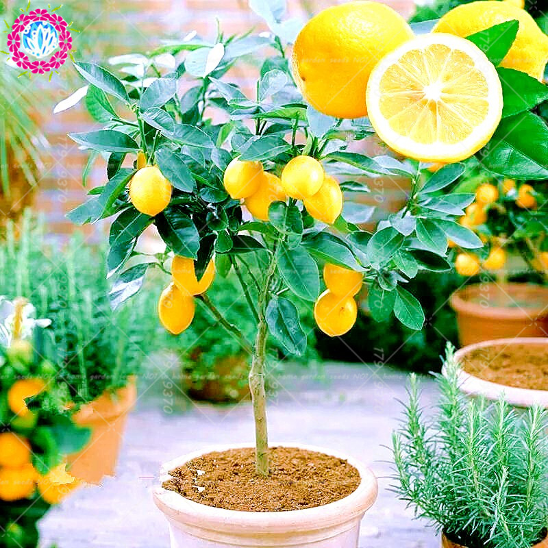 20pcs  bag bonsai dwarf lemon tree edible fruit meyer lemon plants exotic citrus limon bonsai