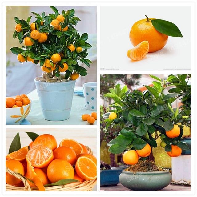 100pcs mini orange tree Plants Fruit Garden Dwarf Standing Orange ...