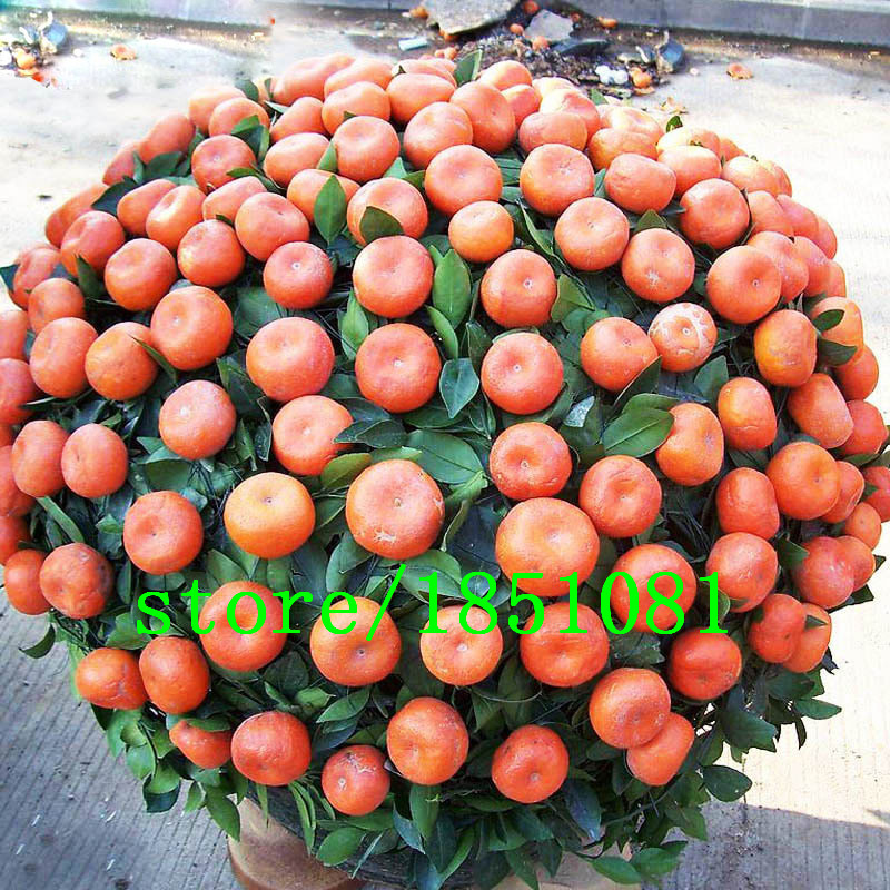 Hot Sale Fruit Orange Seeds Courtyard Garden Potted Fruit Tree Seeds Interesting Plant Bonsai Orange Citrus 100PCS Free shipping