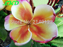 7-15inch Rooted Frangipani Plant Thailand Rare Real Plumeria Plants no10-angel-comet-3