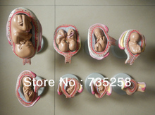 Eight Parts Pregnancy Fetal Development Process Model  ,Pregnancy Fetal Development Process Model