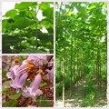 100 PAULOWNIA Elongata, редкая принцесса дерево, большое дерево красивые цветы для домашнего сада - фото