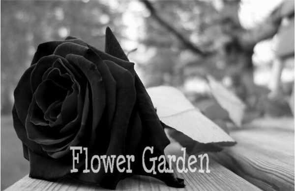 China Rare Black Rose Flor bonsai 150 pcs de Alta Qualidade fácil de Planta de Jardim Da Família flores Semillas de La rosa negra, 9V51ZH