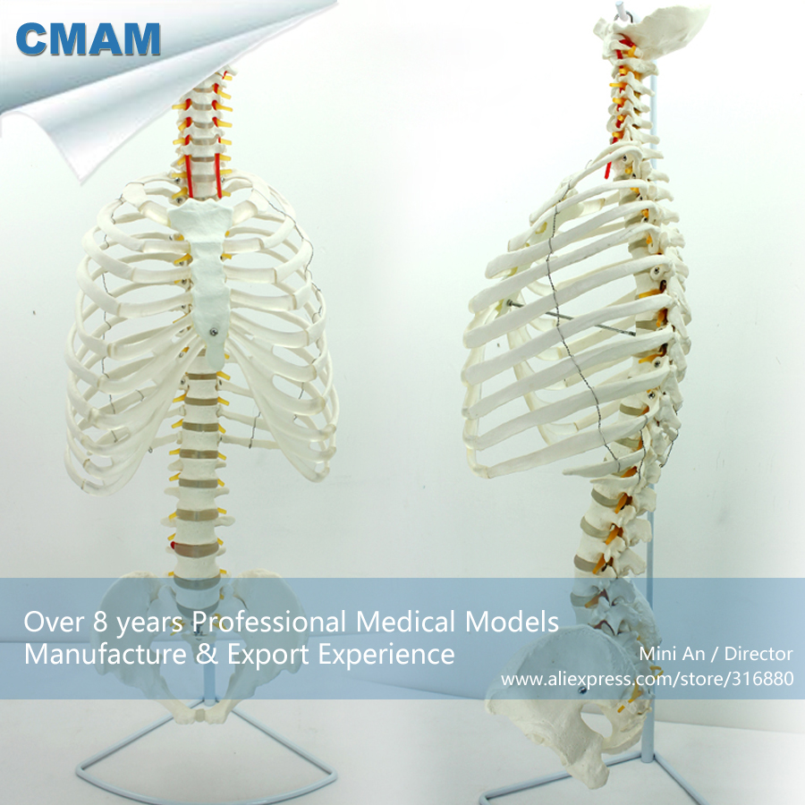 CMAM-SPINE06 Life Size Human Sternum Skeleton Model with Transpaeent Rib, Medical Science Educational Teaching Anatomical Models life size skeleton 180cm tall human skeleton
