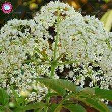 20 pcs/bag Real Elderberry seeds Vegetable plant seeds Perennial herbal medicine potted home&garden 95% germination rate bonsai