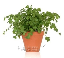 Marseed Space-saving 500 Coriander (parsley)Vegetable Seeds Impressive Rustic Garden