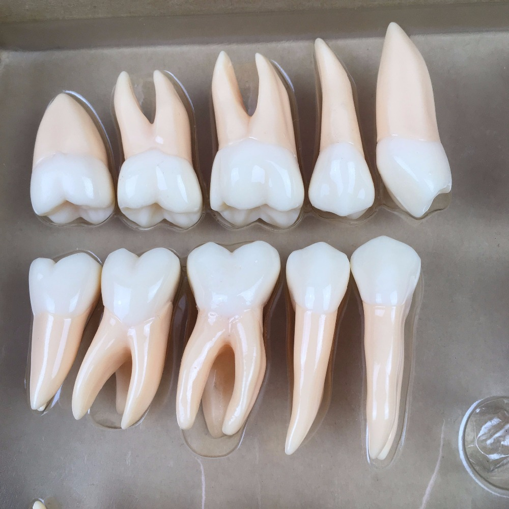 1pc Good Quality 2 times 32 pcs adult permanent teeth model Dental gift Communication Tooth Models Odontologia Anatomy natural