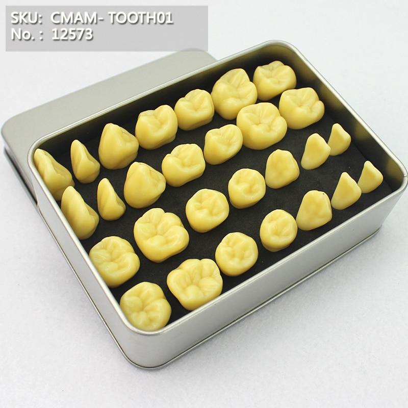 Corpo anatomico dentale CMAM / 12573, scatola di facile trasporto, modello anatomico di insegnamento medico dentale orale umano