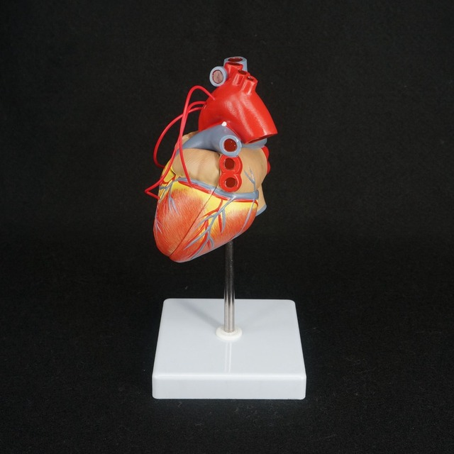 Scientific Heart with Bypass Life Size Anatomical Model Anatomy -in ...