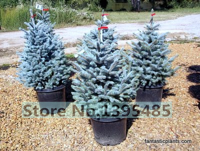50 quality Blue Spruce Tree seeds Home Garden Plant Evergreen Colorado Blue Spruce Picea Pungens Glauca Tree Seeds