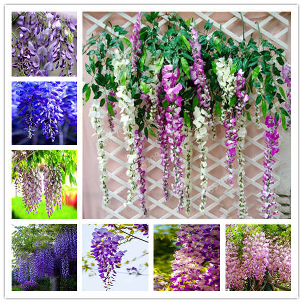 20 Pcs Bonsai Climbing Wisteria Flower Outdoor Courtyard Garden Flowers Japanese Wisteria Fresh Viable Amazing Climber