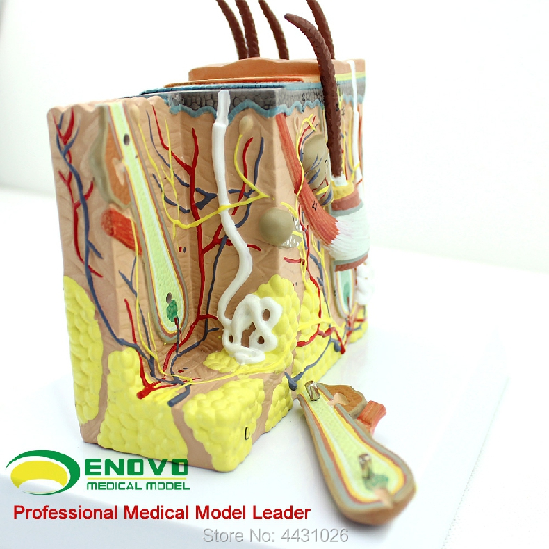 ENOVO Human skin tissue anatomical magnification model minimally invasive skin cosmetic facial ministry model skin block model 26 points displayed human skin anatomical model skin model
