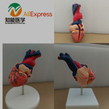 BIX-A1054 Natural Big Heart Model Anatomy Model W071