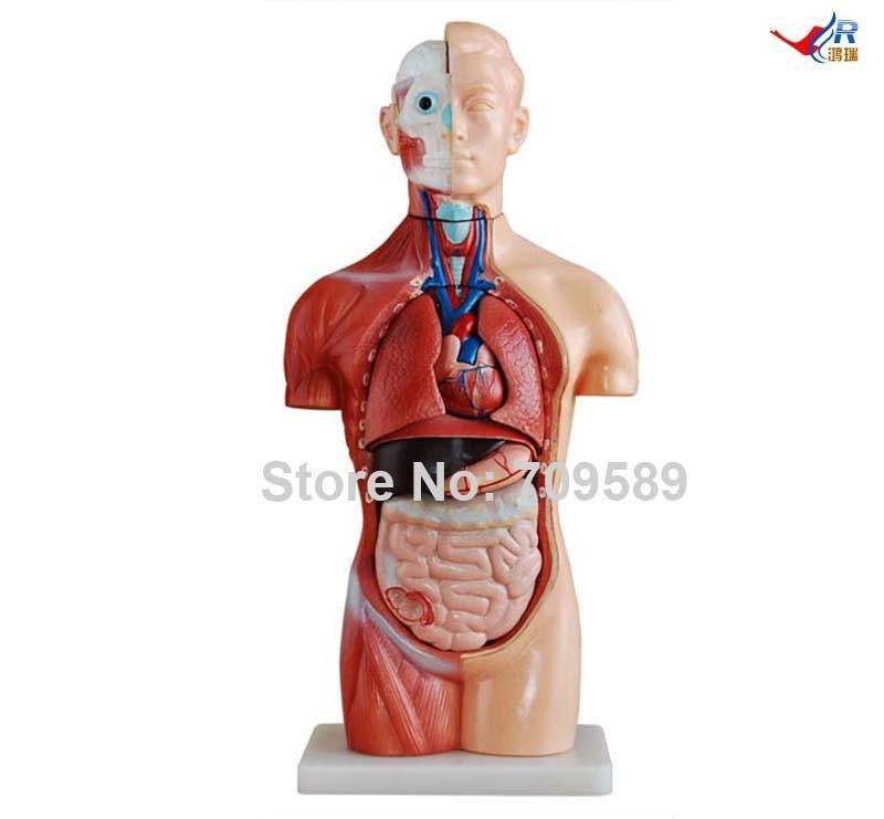 ISO 42 CM Geslachtloos Torso met Interne Organen, 18 Onderdelen ...