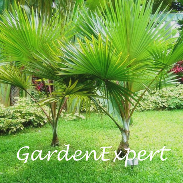 25pcs Green Palm Tree Seeds Garden Evergreen Trachycarpus Fortunei ...