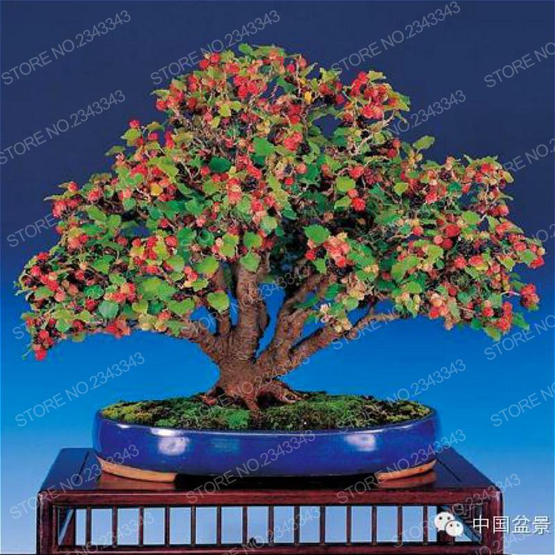 2017 New Arrival 20pcs Mulberry Seeds Fresh Blackberry Fruit Plants Seed Home Garden Bonsai Morus Nigra Diy Plant Tree Semillas