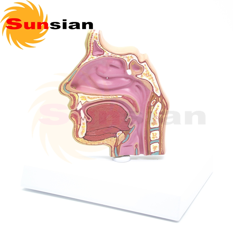 ФОТО The dissection model of nasal cavity ,anatomical model,anatomy model,anatomia