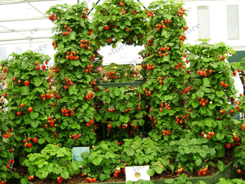 Image 4 - 300pcs mountaineering strawberry bonsai plants home garden with strawberry NON GMO strawberry tree big delicious fruit-in Bonsai from Home & Garden