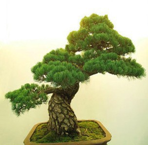 25pcs/lot Podocarpus tree seeds Yaccatree Tree Seed, Evergreen Shrubs Potted Landscape GARDEN BONSAI TREE SEED DIY HOME PLANT
