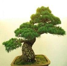 25pcs/lot Podocarpus tree seeds Yaccatree Tree Seed, Evergreen Shrubs Potted Landscape GARDEN BONSAI TREE SEED DIY HOME PLANT