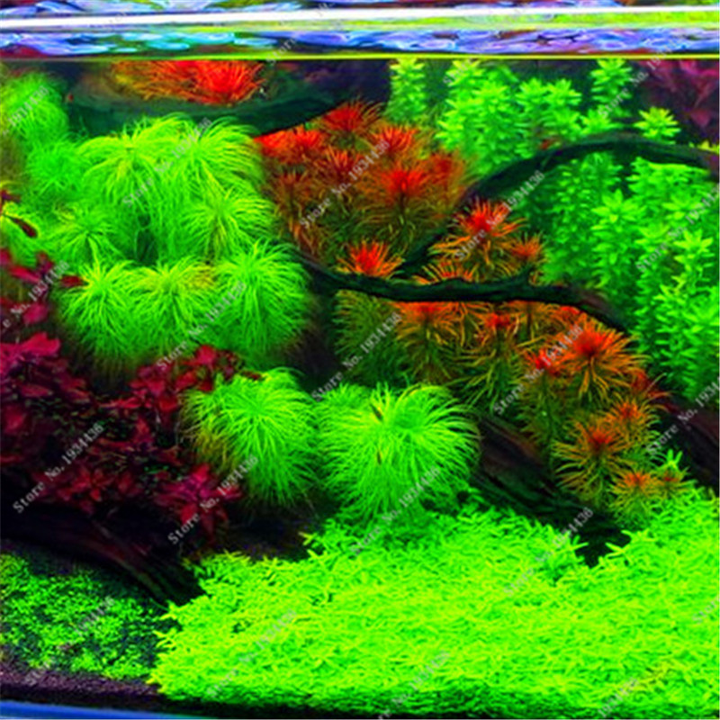 2016 new 1000 aquarium plant seeds pine tree semillas de for Koi pond plants for sale