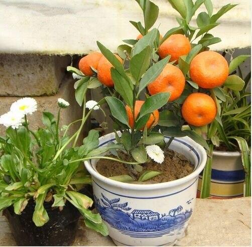 free ship 50 seeds Balcony Patio Potted Fruit Trees Planted Seeds Kumquat Seeds Orange Seeds Tangerine Citrus