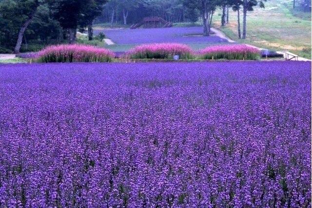 200 staaten/Französisch provence lavendel tasche sehr duftenden lavendel samen bio samen-blumensamen Heimischen Garten Bonsai 001 S