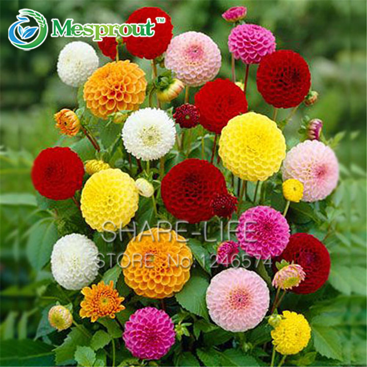 Rare Yellow Orange Dahlia Seeds Chinese Flower Seeds Bonsai Plants for Garden 50PCS PACK