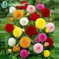 Rare Amarelo Laranja Dália Sementes Chinês Sementes de Flores Bonsai Sementes de Plantas para Jardim 50 UNIDADES/PACOTE