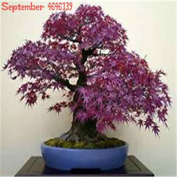 20 قطعة الأرجواني القيقب بونساي نادر في العالم كندا هو جميلة الأرجواني القيقب بونساي الأرجواني القيقب شجرة النباتات للمنزل حديقة